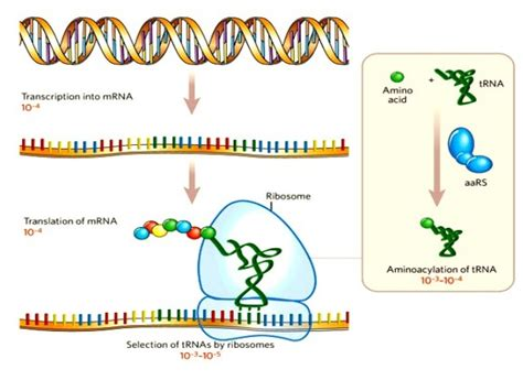 protein synthesis rna protein synthesis