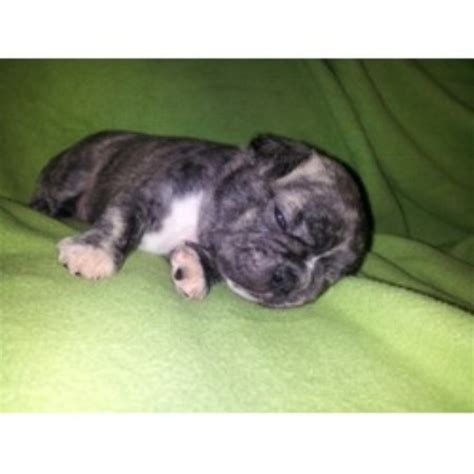 free pug puppies in ct pug breeders in connecticut freedoglistings