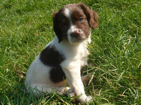 springer spaniel puppies beautiful springer spaniel puppies boston lincolnshire pets4homes