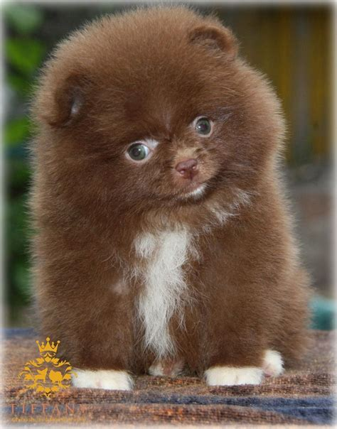 teddy pomeranian for sale xx top class kc teddy pomeranian choco xx chester cheshire pets4homes