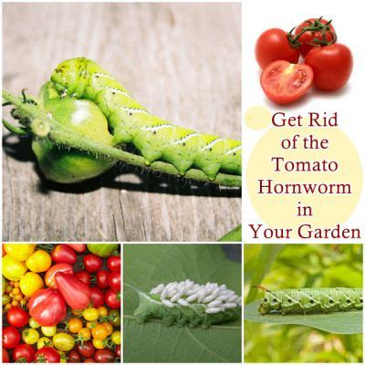 get rid of the tomato hornworm in your garden the homestead survival homesteading gardening