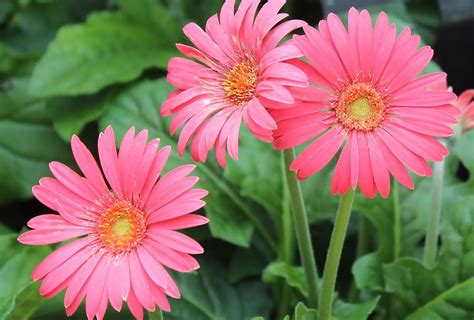 gerber daisies gerber daisies photograph by joyce baldassarre