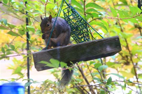 5 tips to keep squirrels out of your bird feeders weaver