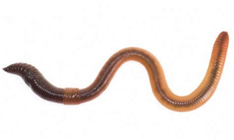 worms pictures g6 animals science wiki