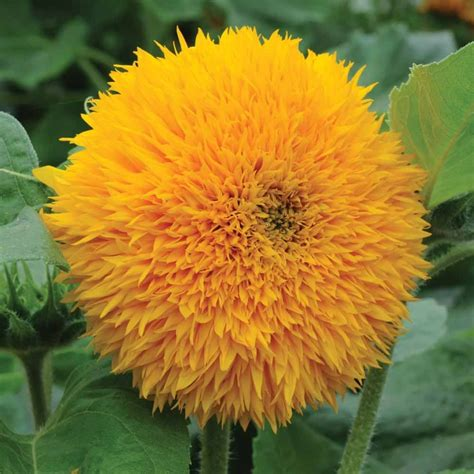 Sarung Bantal Cushion Impor Yellow Flower sunflower helianthus annuus teddy attracts butterflies a fall bloomer plant with