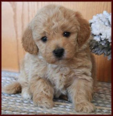 poochon puppies for sale poochon puppies for sale iowa rachael edwards