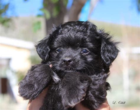 puppies for sale in wausau wi aussiedoodle puppies wisconsin aussiedoodle puppies for sale wisconsin