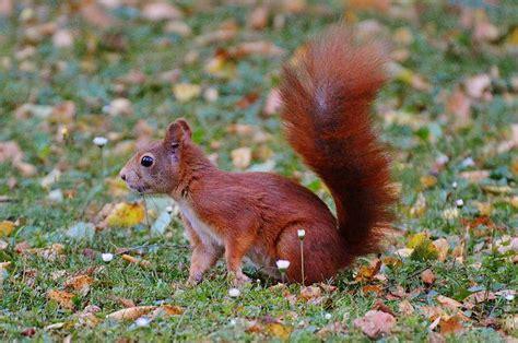 scoiattolo alimentazione lo scoiattolo non abbandona il compagno investito