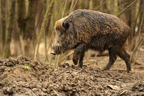 boar pig attunements  reiki fur babies