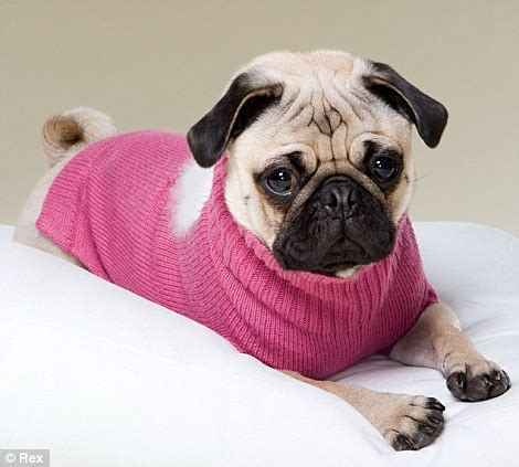 how much money are pugs snug as a pug the canine fashion season has begun and one breed the pavement