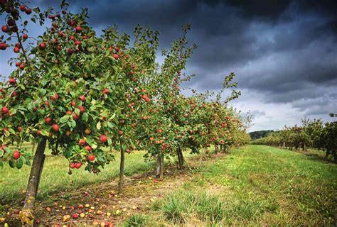 cherry tree mac os x wholesale fruit trees apple cherry apricot kingsdown nurseries