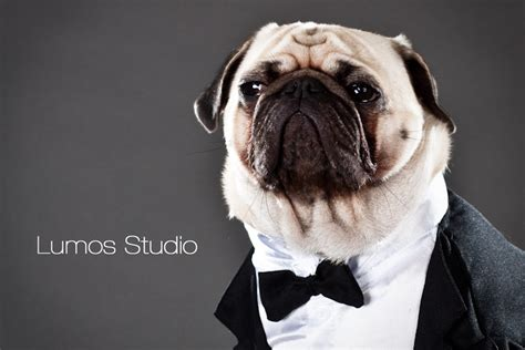 tuxedo for pugs pug in a tux by gilda m5x eu