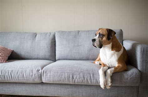 dog in couch severe shedding how to deal with excessive pet fur