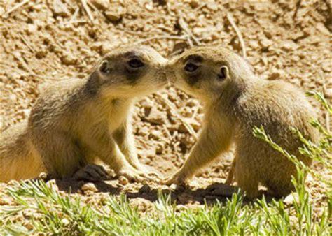 where do prairie dogs live utah prairie day news bryce national park u s national park service