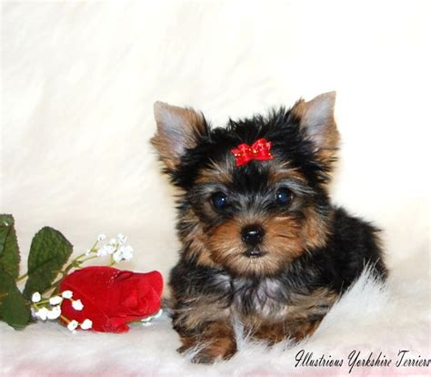 yorkie breeders in illinois 25 best yorkie breeders ideas on teacup yorkie yorkie and yorkie