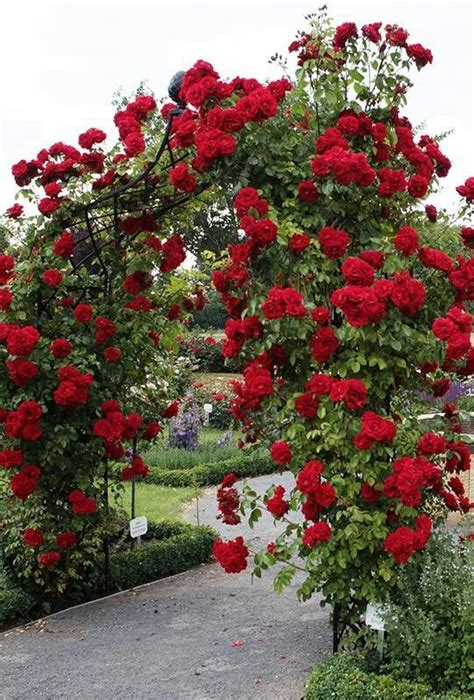 Rose Trellis Plans by Tips On Planting Quot Climbing Roses Quot On A Rose Trellis My