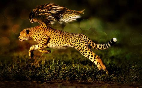 Cheetah HD Background, Picture, Image
