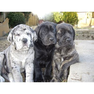 great daniff puppies for sale mastiff great dane hybrid mastidane or daniff
