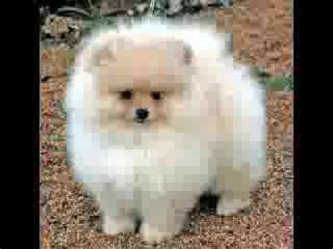 bichon frise pomeranian who let the dogs out pomeranian german shepherd and bichon frise tribute