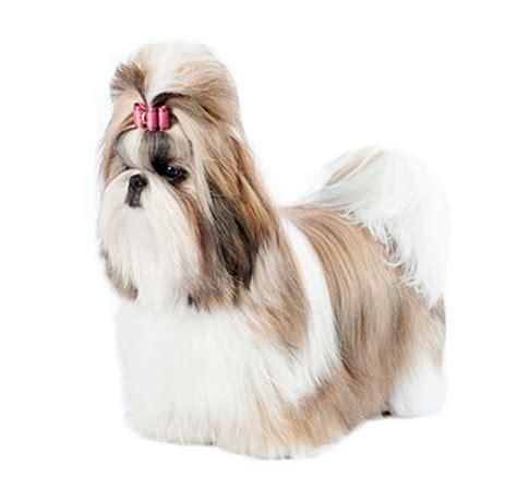 shih tzu chien shih tzu chien de race purina
