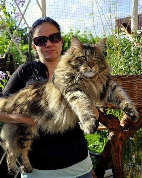 Jual Kater by The Big Maine Coon Cat