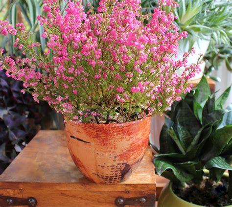 erika pflanze heidekraut auf dem balkon 187 pflanzen und pflegen