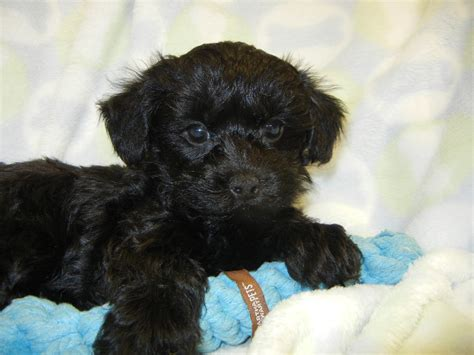 yorkie poo yorkie poo puppy0026 breeds picture