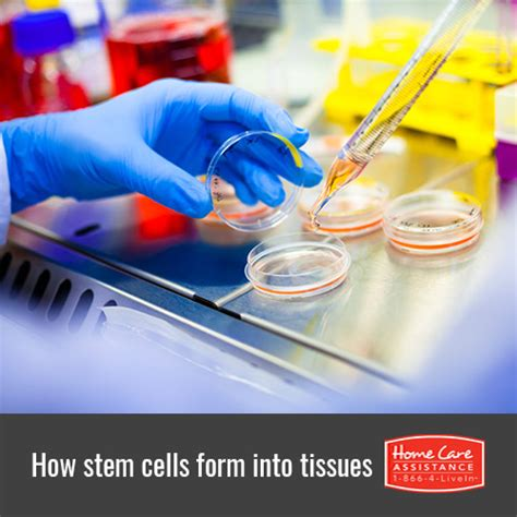 Comfort Caregivers Milford Ct by Can We Manipulate Stem Cells To Make Specific Organs