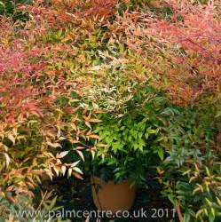 Topiary Plants In Pots - nandina domestica from palm centre