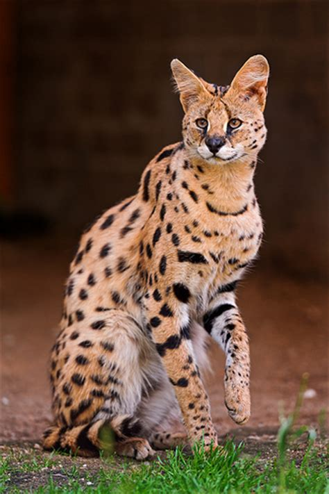 Sahara Desert Snow by Considering A Serval Cat Know The Risks Of Having One