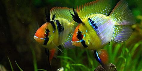 german ram care blue ram cichlid care guide the aquarium guide