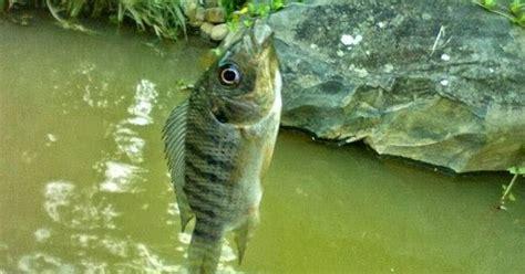 Vitamin Nafsu Makan Ikan Hias Fresh 1 jenis umpan mancing ikan mujaer yang uh dan jitu