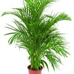 areca areca palmier d arec plantes d int 233 rieur