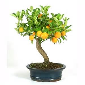 bonsa 239 d int 233 rieur citrus 10 ans plantes et jardins