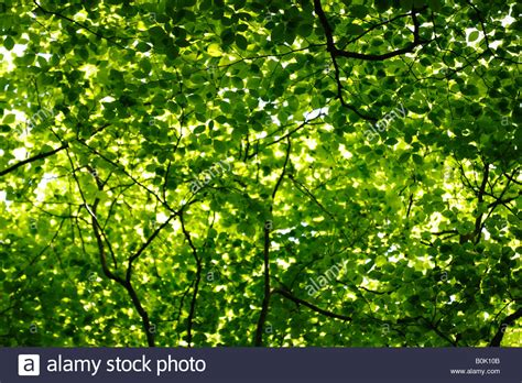 Canopy Of Leaves beech tree canopy and green leaves in sunlight