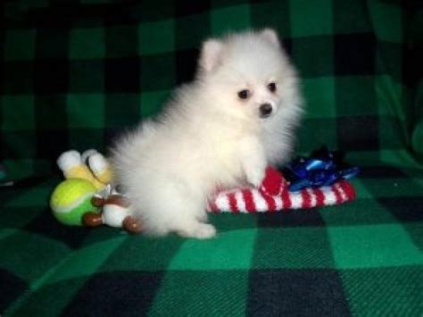 adopt a pomeranian for free free pomeranian puppies for adoption now offer