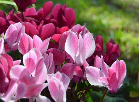 piante da fiori invernali fiori invernali non possono mancare in balcone foto