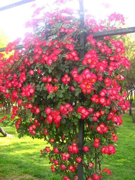 imagenes de rosas trepadoras rosas trepadoras jardines pinterest
