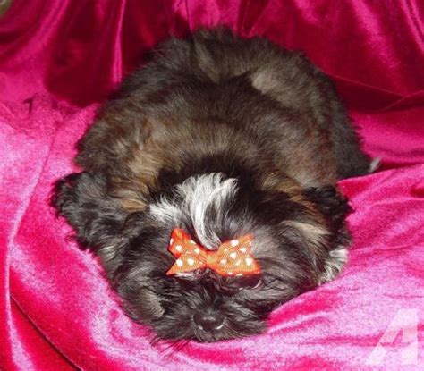 shih tzu puppies for sale in orlando fl shih tzu akc reg puppy small for sale in orlando florida classified