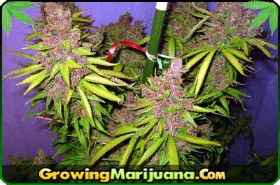 marijuana colors marijuana color of the plant