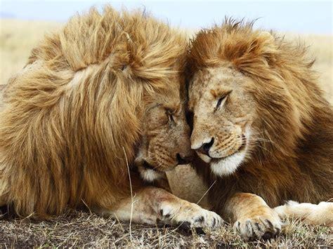 imagenes leones y leonas imagenes de leones abril 2013
