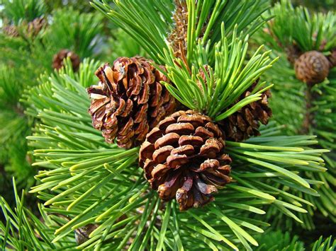 cone tree pine tree art prints pine cones green forest baslee