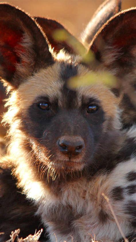 wallpaper wild dog  eyes predator fur nature animal animals