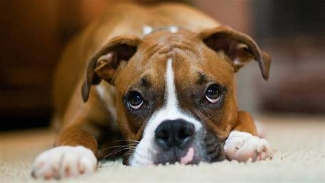 do dogs feel guilt do dogs really feel guilt mnn nature network