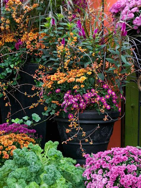 fall mums your ultimate care guide beautiful for the and perennials
