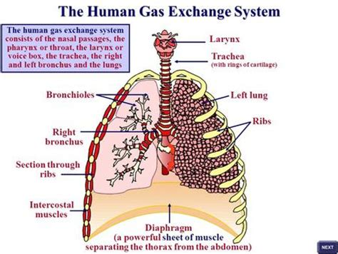 human gas exchange system diagram mammalian lungs list the features of the mammalian lung