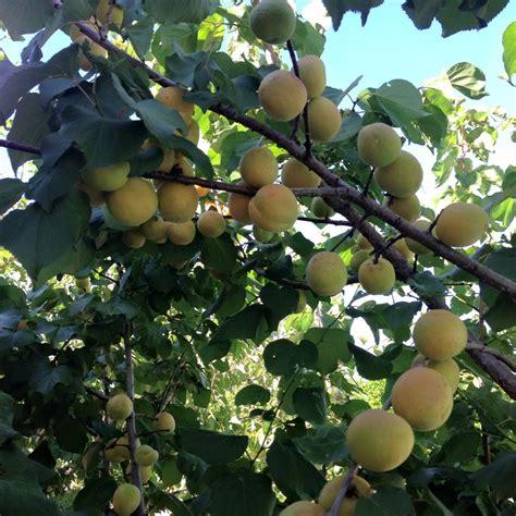 planting fruit trees in backyard 100 backyard fruit orchard large backyard plum fruit tree growing garden fruit