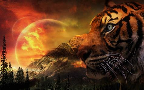 tiger wallpapers pictures images