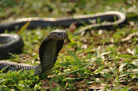 Sprei Javan indonesia reptiles partner
