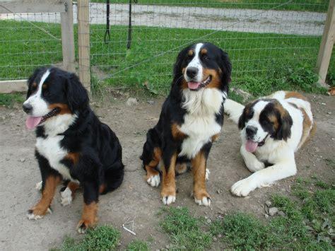st bernese mountain puppy st bernard puppies photos breeds picture